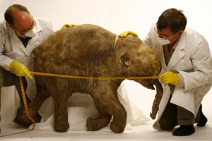 A University of Michigan team studying the remains of a 40,000 year old baby mammoth